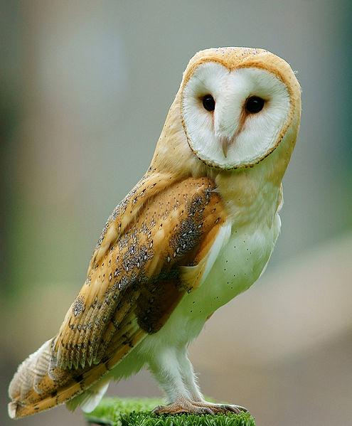 Barn Owl NC
