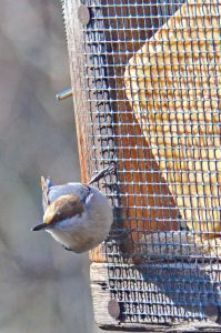 Brown-headed Nuthatch Houses
