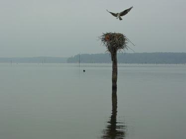 Jordan Lake Osprey