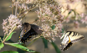 Black and Yellow Tiger Swallowtails on Joe-Pye BD