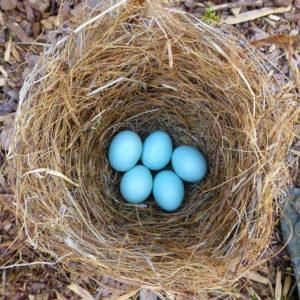 Bluebird eggs Caroline Gilmore