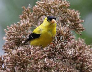 goldfinch eating Joe Pye seeds BD