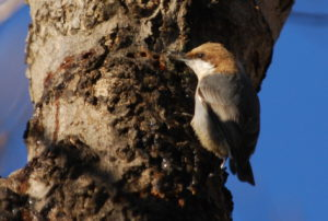 Brown-headed Nuthatch sapsucker