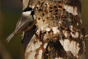 Carolina Chickadee sapsucker