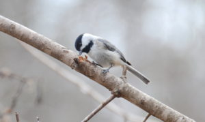 Carolina Chickadee working over a branch