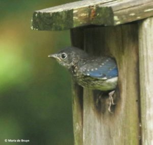 Juvenile Bluebird, 02