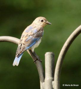Juvenile Bluebird, 03