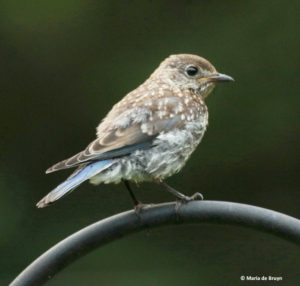 Juvenile Bluebird, 04