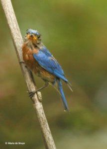 Male Bluebird, 06