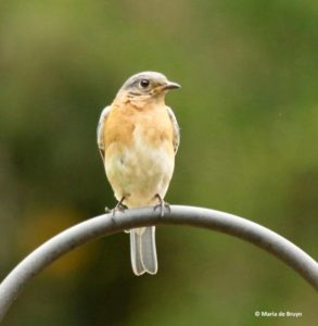 female bluebird--01