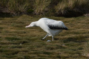 Wandering Albatross on land